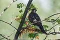 Sparrowhawk(js) Lodz(Poland)01.jpg