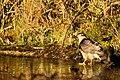 Sparrowhawk - RSPB Sandy (15555309913).jpg