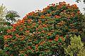Spathodea campanulata flowering DSC 3257.jpg