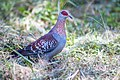 Specked Pigeon ...Gambia (32709456610).jpg