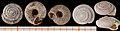 Spelaeodiscus-triarius 01.jpg
