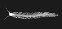 Speleonectes tanumekes unlabeled-rotated
