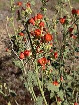 Sphaeralcea ambigua 13.jpg