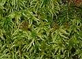 Sphagnum magellanicum 091207.jpg