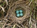 Spizella pallida eggs.jpg
