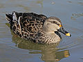 Spot-billed Duck specifically Indian Spot-billed Duck RWD2.jpg
