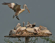 Spot-billed Pelican (Pelecanus philippensis) landing with nesting material at nest with chicks W2 IMG 2857.jpg