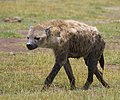 Spotted hyena, Amboseli National Park, Kenya.jpg