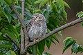 Spotted owlet (Athene brama) 35.jpg