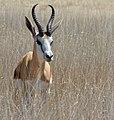 Springbok (Antidorcas marsupialis) male ... (50992652996).jpg
