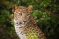 Sri Lankan Leopard at Wilpattu national park - (Brave Beauty).jpg