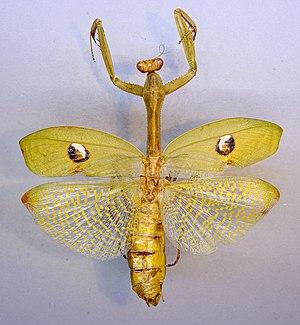 Stagmatoptera hyaloptera - Stagmatoptera hyaloptera from Zoologische Staatssammlung München