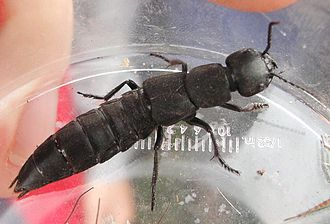 Rove beetle - Image: Staphylinus.olens