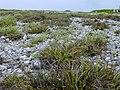 Starr-010520-0017-Fimbristylis cymosa-habit on abandoned runway-Abandoned runway-Kure Atoll (24237147600).jpg