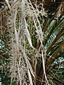 Starr-010914-0057-Washingtonia robusta-flower pannicle-Lahaina-Maui (24542153435).jpg