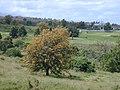 Starr-030418-0001-Grevillea robusta-flowering habit-Kula-Maui (24002216514).jpg