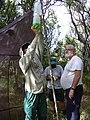 Starr-030625-0030-Cynodon dactylon-malaise trap with Frank and crew-Kahului-Maui (24527373052).jpg