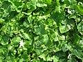 Starr-050225-4664-Coccinia grandis-habit-Manana-Oahu (24739455915).jpg