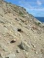 Starr-050404-5392-Eleusine indica-habitat with wedgetailed shearwater burrows-Mokeehia-Maui (24113486294).jpg