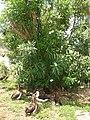 Starr-080531-4807-Nerium oleander-flowering habit with Laysan albatross-Charlie barracks Sand Island-Midway Atoll (24615298460).jpg