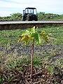 Starr-081229-0495-Aleurites moluccana-planting-Base camp Honokanaia-Kahoolawe (24559220139).jpg