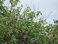 Starr-090416-6012-Tithonia diversifolia-leaves and spent flowers-Makawao-Maui (24925709236).jpg