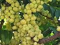 Starr-090714-2683-Phyllanthus acidus-fruit-Napili-Maui (24601938489).jpg
