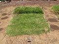 Starr-090806-3936-Stenotaphrum secundatum-turf testing plot-UH CTAHR Maui Community College Kahului-Maui (24603998699).jpg
