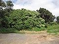 Starr-100111-1199-Aleurites moluccana-habit-Waihee-Maui (24379827903).jpg