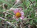 Starr-100401-4296-Erigeron karvinskianus-flowers-Polipoli-Maui (24400610153).jpg