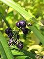 Starr-110215-1268-Dianella sandwicensis-fruit-KiHana Nursery Kihei-Maui (24957838642).jpg