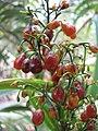 Starr-110411-4946-Dianella sandwicensis-brown fruit form sandwicensis-Hawea Pl Olinda-Maui (24989201601).jpg