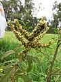 Starr-110502-5235-Amaranthus spinosus-seedheads-Kula-Maui (24975808222).jpg