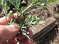 Starr-120403-4108-Ruta graveolens-leaves-Kula-Maui (24770751639).jpg