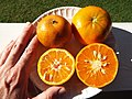 Starr-131204-2679-Citrus reticulata-Clementine on left Honey on right-Hawea Pl Olinda-Maui (25135102031).jpg