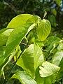 Starr-140222-0334-Banisteriopsis caapi-leaves-Haiku-Maui (24609849414).jpg