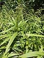Starr-140909-1715-Setaria palmifolia-leaves and seedheads-Wailua-Maui (25152607091).jpg