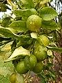 Starr-140925-1984-Fortunella japonica-Meiwa immature fruit-Pali o Waipio Huelo-Maui (25220311446).jpg