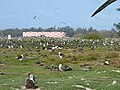 Starr-150331-0702-Cyperus polystachyos-Water tanks and Laysan Albatrosses-Near Old Sunrise Seep Sand Island-Midway Atoll (24640650114).jpg