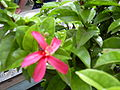 Starr 030628-0157 Hibiscus clayi.jpg