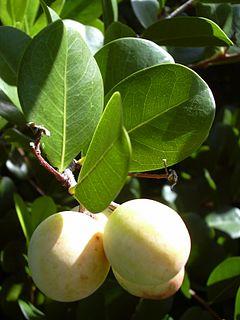 Chrysobalanus icaco wikipedia la enciclopedia libre for Frutas ornamentales