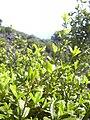Starr 040131-0023 Alyxia oliviformis.jpg