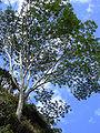 Starr 040209-0328 Falcataria moluccana.jpg