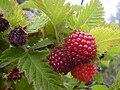 Starr 040723-0303 Rubus hawaiensis.jpg