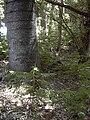 Starr 040812-0068 Araucaria columnaris.jpg