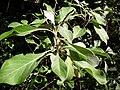 Starr 041229-2759 Achyranthes splendens var. splendens.jpg