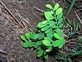 Starr 050419-0338 Phyllanthus debilis.jpg