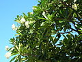 Starr 050517-1430 Plumeria obtusa.jpg