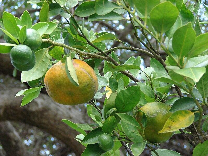 File:Starr 061105-1370 Citrus reticulata.jpg