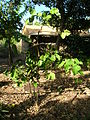 Starr 061106-9597 Piper methysticum.jpg